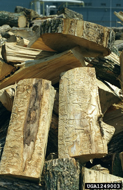 EAB infested firewood