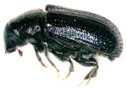 Common pine shoot beetle