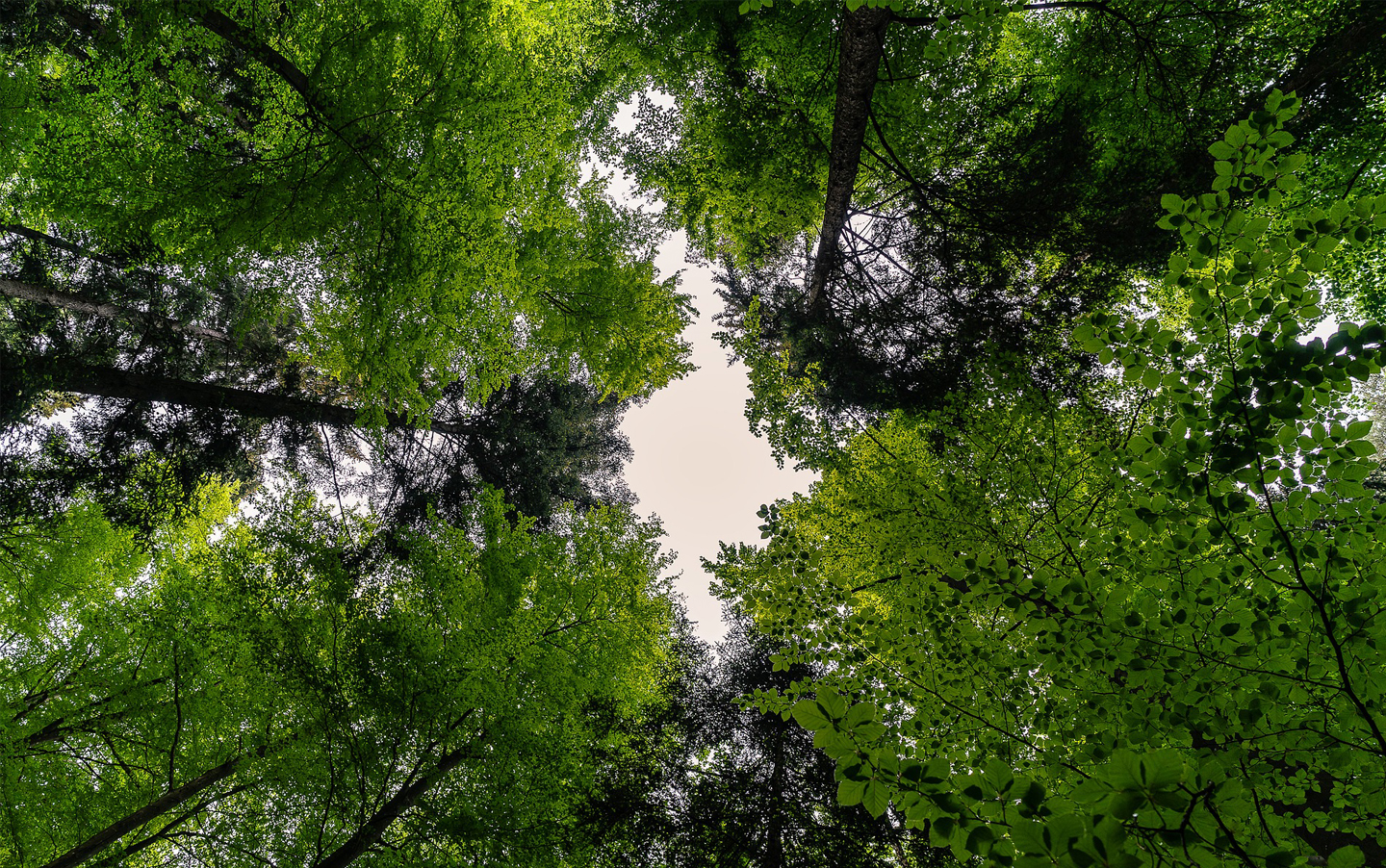 Looking through the leaves of tree canopy