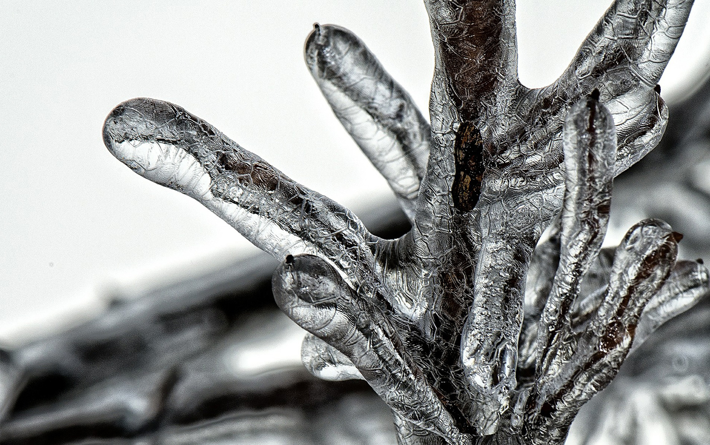 Photo of thick ice coating a tree branch