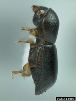 "Adult redbay ambrosia beetle (about 1/16"" long"