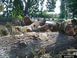 Infected walnut trees should be destroyed or salvaged