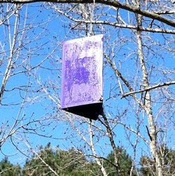 A purple prism trap hanging from a tree