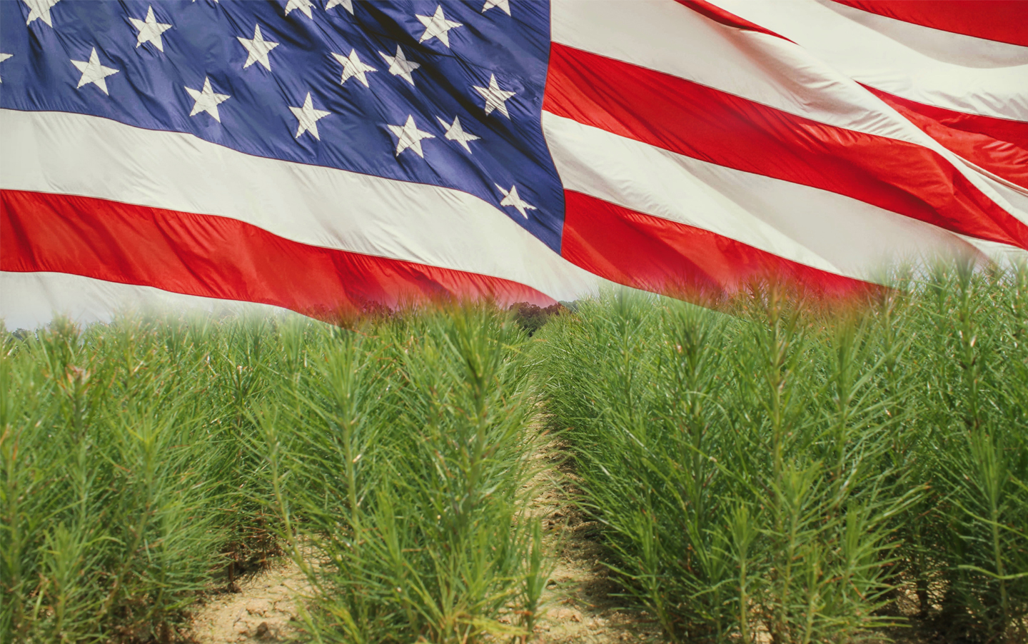 Photo of tree seedlings in foreground with United States flag waving in background