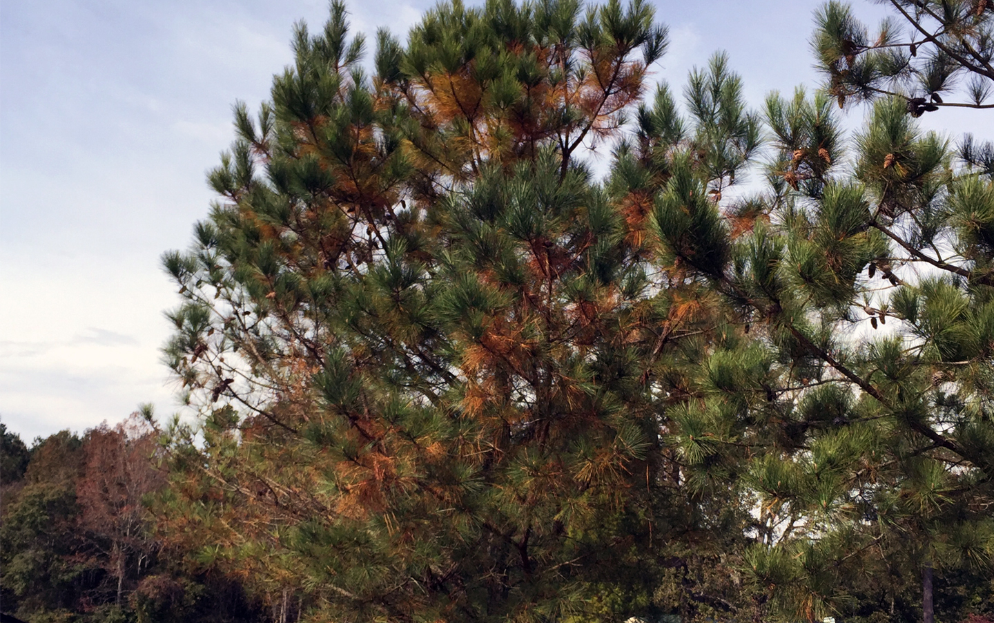 Photo of pine tree with brown needles about to fall
